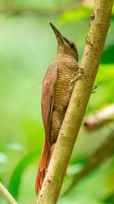 Northern Barred Woodcreeper, Dendrocolaptes sanctithomae, Carara NP
