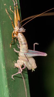Unidentified Orthoptera in metamorphosis
