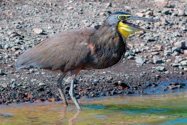 Bare-throated Tiger Heron, Tigrisoma mexicanum, Tarcoles river