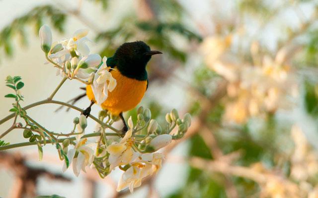 Pygmy Sunbird, Hedydipna platura