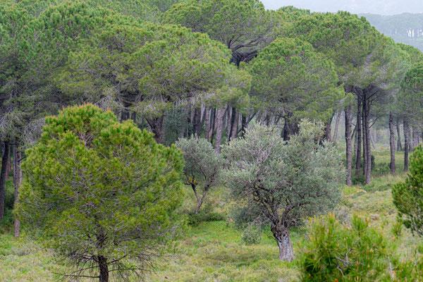 Pinède de Qsaybeh, milieu magnifique mais le sol était jonché de douilles