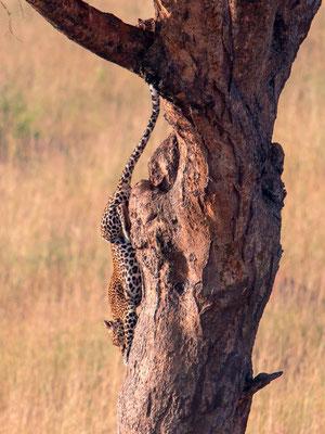 Léopard, Panthera pardus