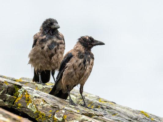 Corneille mantelée, Corvus cornix. Après une grosse averse typique scandinave!