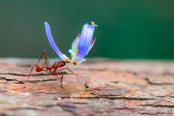 Leafcutter ant, Atta ou Acromyrmex. Observation of a line for about thirty minutes carrying pieces of flowers!