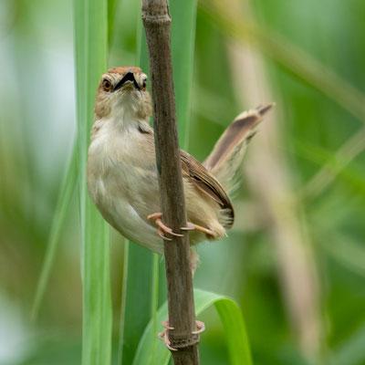 Cisticole sp. nov. (forme à queue blanche) - Cisticole sp. nov. (forme à queue blanche) . Espèce pas encore formellement décrite. Endémique des marais du Kilombero.