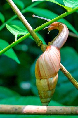 Escargot de forêt