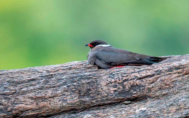 Glaréole auréolée, Glareola nuchalis. Un oiseau mythique que l'on trouve uniquement sur les rochers au milieu des rivières.