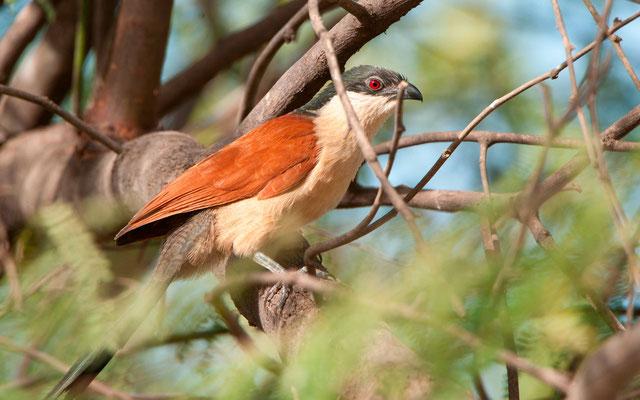 Coucal du Sénégal, Centropus senegalensis