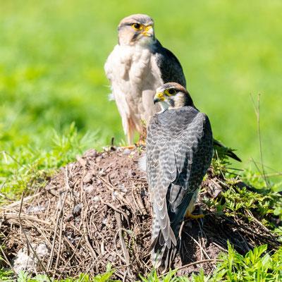 Pair of Lanner Falcon, Falco biarmicus