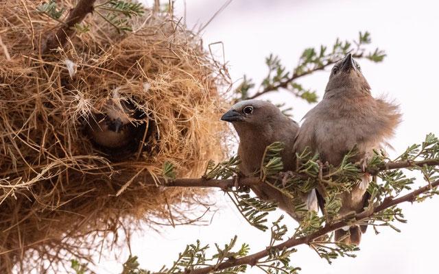 Grey-capped Social Weaver, Pseudonigrita arnaudi