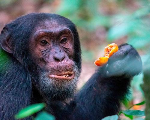Chimpanzee , Pan troglodytes, Eating