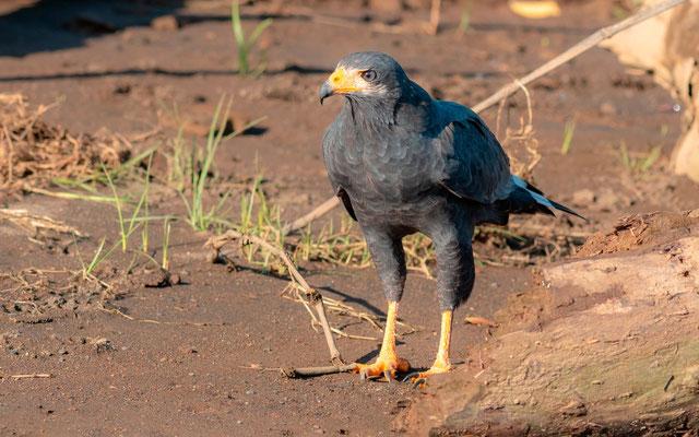 Common Black Hawk, Buteogallus anthracinus, Tarcoles river