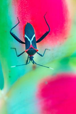 Insecte indéterminé