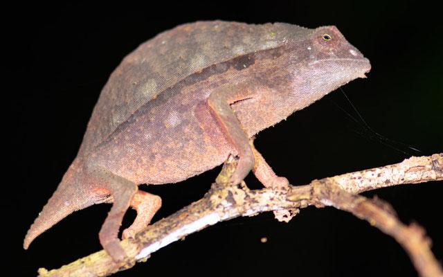 Rieppeleon brevicaudatus, femelle