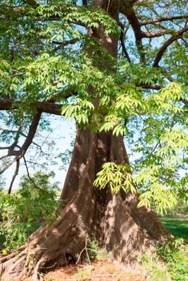 Fromager, Ceiba pentandra dans la forêt de Fagaru