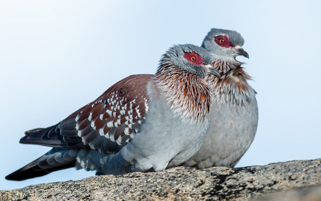 Pigeon roussard , Columba guinea