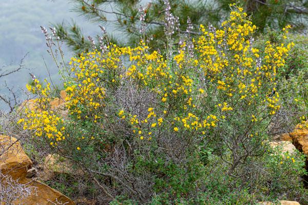 Hairy thorny, broomCalicotome villosa