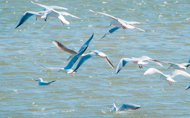 Slender-billed Gull, Larus genei