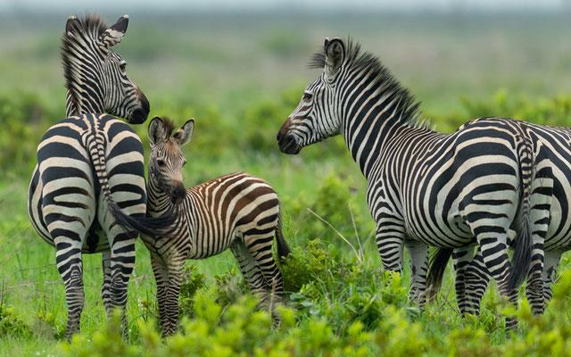 Famille de Zèbre de Grant, Equus quagga bohemi