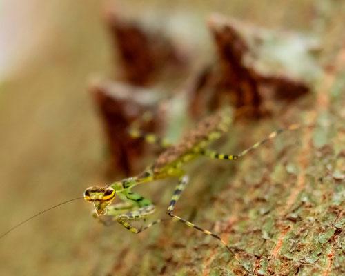 Liturqusa sp. (Mantis)