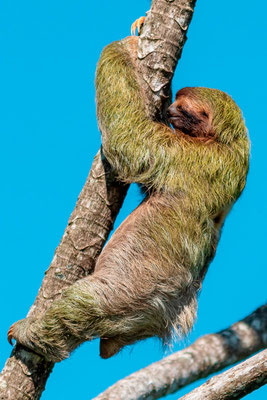 Paresseux à gorge brune, Bradypus variegatus