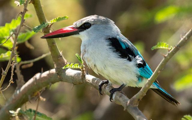 Martin chasseur du Sénégal, Halcyon senegalensis