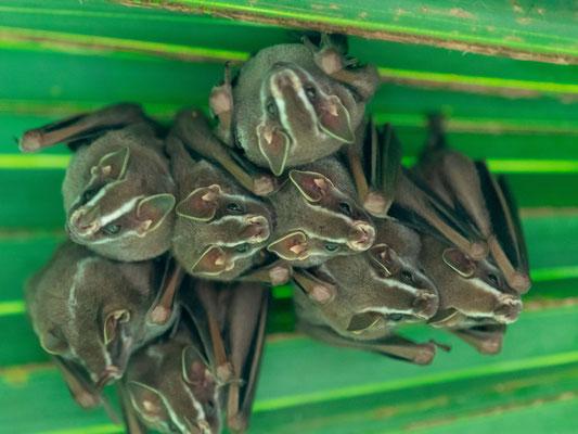 Chauve-souris campeuse, Uroderma bilobatum