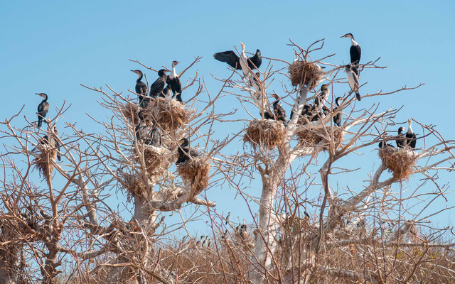Great Cormorant colony, Phalacrocorax carbo
