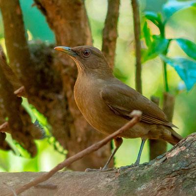 Clay-colored Thrush, Turdus grayi. National bird of Costa Rica. Alajuela, before returning to Switzerland