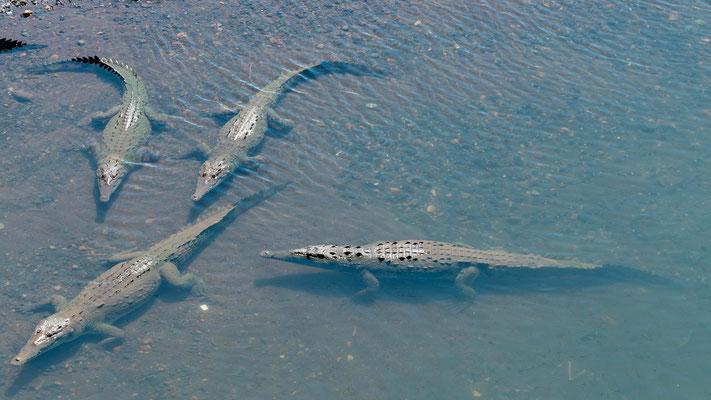 Numerous Crocodile d'Amérique, Crocodylus acutus under the famous bridge over the river Tarcoles