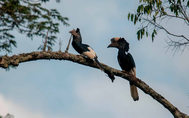 Black-and-white-casqued Hornbill , Bycanistes subcylindricus
