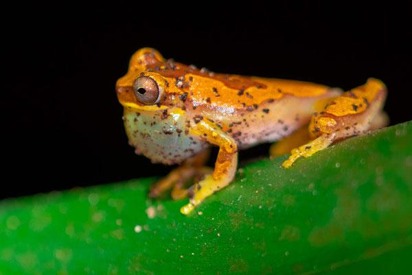 Dendropsophus ebraccatus, observé dans un petit étang à côté du restaurant de villa Lapas