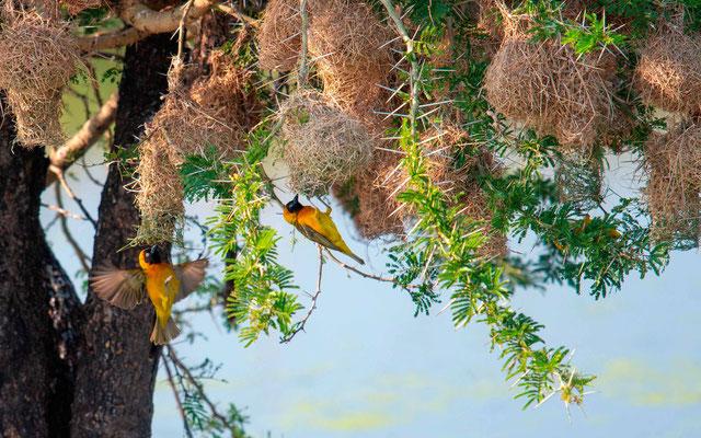 Lesser Masked Weaver, Ploceus intermedius