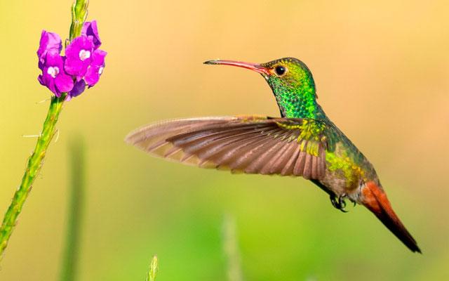 Rufous-tailed Hummingbird, Amazilia tzacatl.