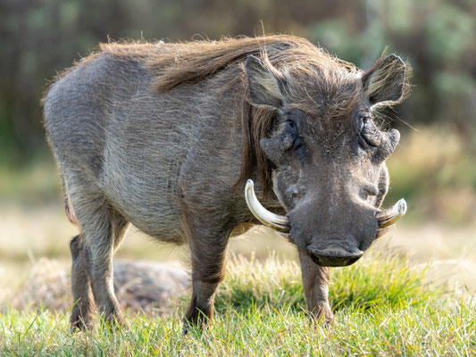 Common warthog , Phacochoerus africanus