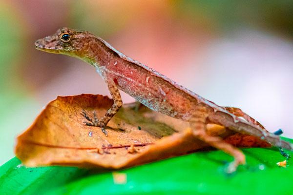 Anolis sp. , foret de Punta Marenco.