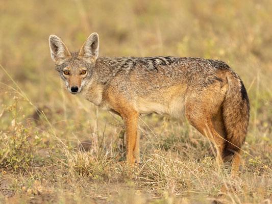 Loup doré, Canis anthus. Réseve d'Aledeghi