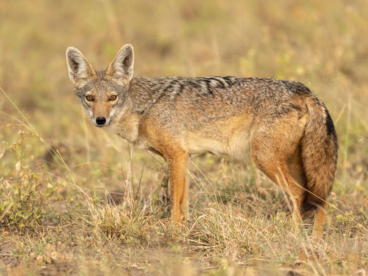 African golden wolf, Canis anthus. Aledeghi reserve
