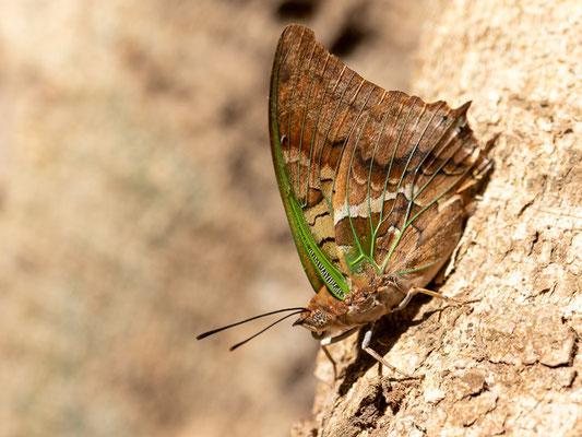 Lépidoptère indéterminé. Forêt de Bishangari