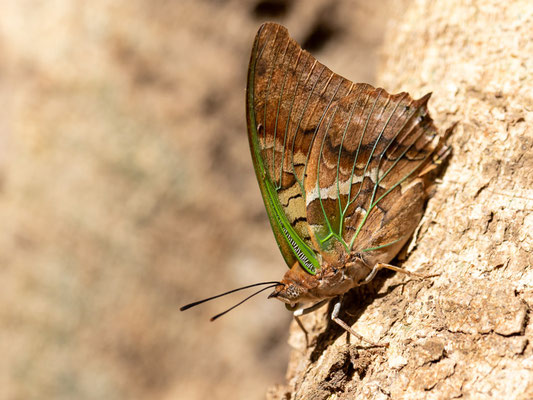 Undefined Butterfly. Bishangari forest