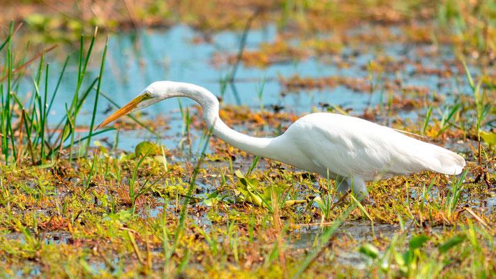Great Egret , Ardea alba