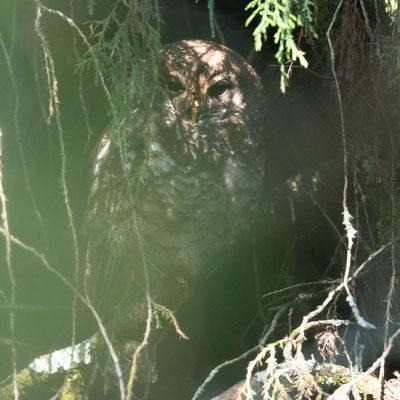 African Wood Owl, Strix woodfordii, Dinsho