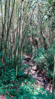 Bamboo forest in Mgahinga