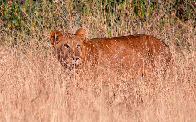 THE lionne