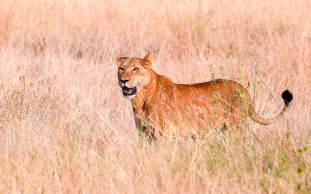 Notre premier Lion, Panthera leo, une lionne dans le PN de Queen Elizabeth!