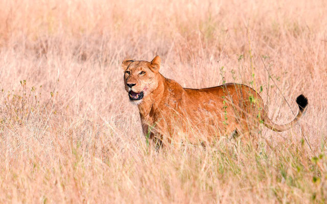 Our first Lion, Panthera leo, a lioness in Queen Elizabeth NP!