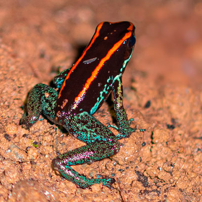 Golfo Dulce Poison-Dart Frog, Phyllobatus vittatus. Endemic species southwest of Costa Rica. Very difficult to find and observe because it lives in small caves along the river.
