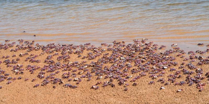 Rassemblement de crabes violoniste, Afruca tangeri,  sur la Langue de Barbarie