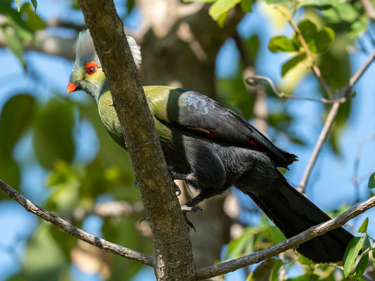 A very rare and localised endemic of this country, Ruspoli's Turaco, Tauraco ruspolii