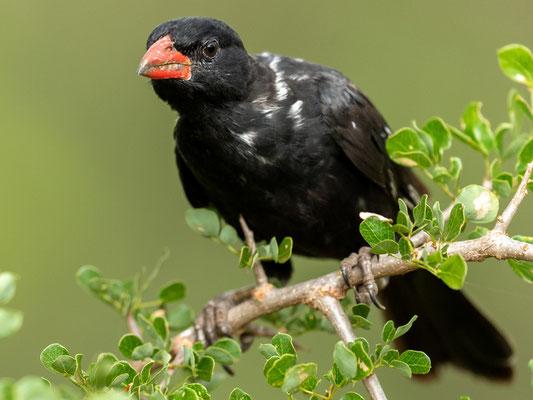 Alecto à bec rouge,  Bubalornis niger